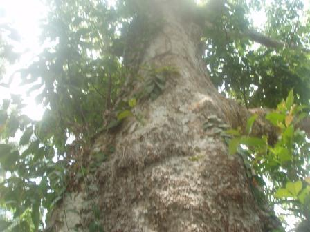 Manila elemi tree a.k.a Pili tree