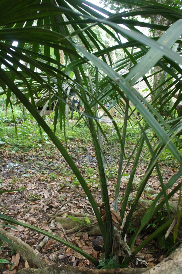 A juvenile Buri palm growing voluntarily in a village farm in Bulusan.