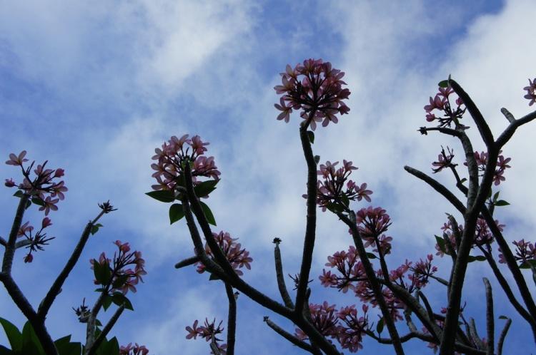 'Kanda' in Bloom