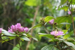 Mapaso area has diverse flora in terms of density per square meter. The above purple flowering is quite common here.