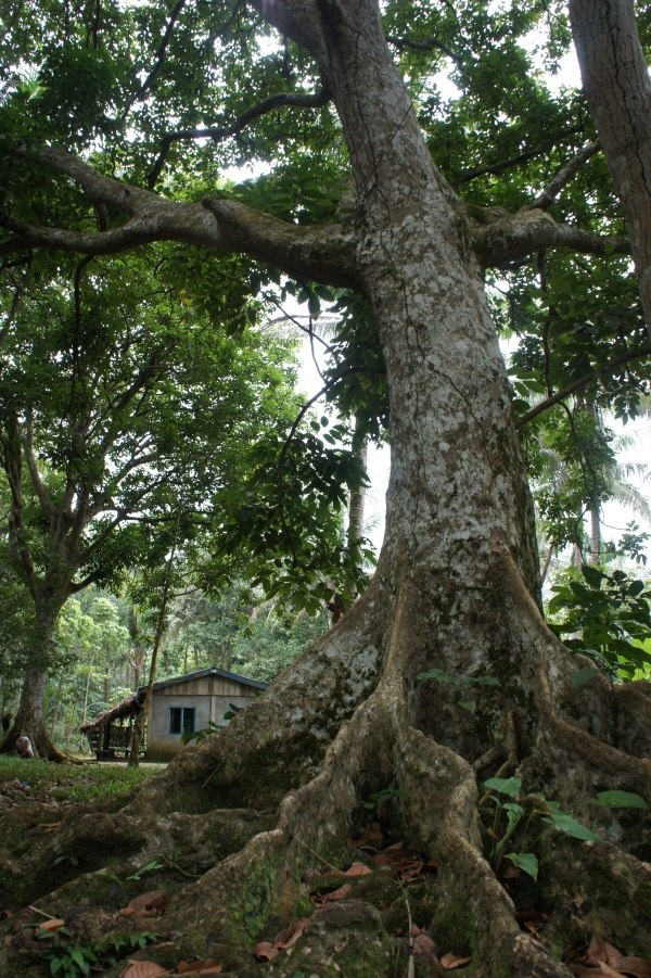 Magnificent Pili Trees