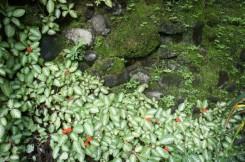 Crawling ornamental plants at Punta Diamante, Bulusan, 2013.