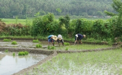 Planting rice just a few meters from the road.
