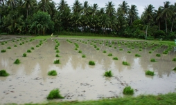 Rice field ready for planting.