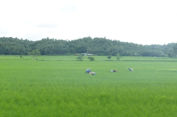 Planting rice along Bulusan-Barcelona road