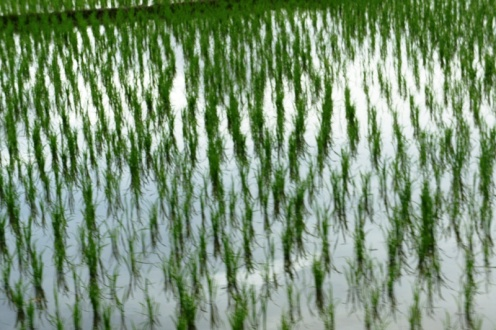 Newly planted rice land