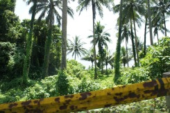 The Pacific Ocean view screened by towering coconut trees