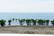 Mangrove reforestation in San Vicente shoreline