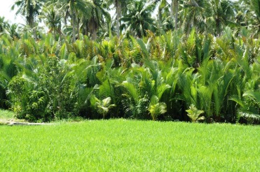 Rice, Nipa and Coconut