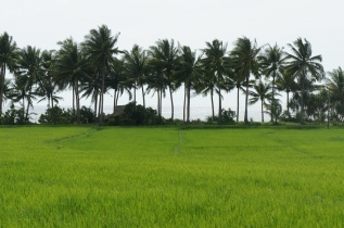 Generic view of coconut and riceland along Bulusan road