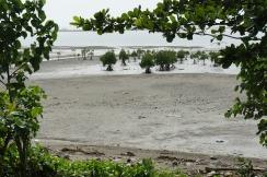 Mangrove reforestation in San Vicente, Bulusan
