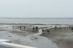 Juvenile mangroves in San Vicente shoreline. Mangrove reforestation obviously needs more intervention here.