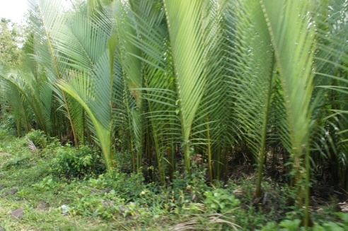 Nipa newly harvested of outer leaves for 'pawud' making