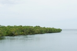 Thick mangrove forest along Barcelona road thrusts outward to the sea