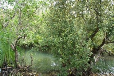 More mangroves along the road