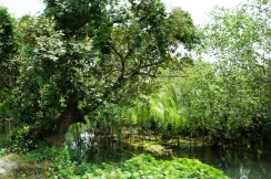 Mangrove and Nipa groves