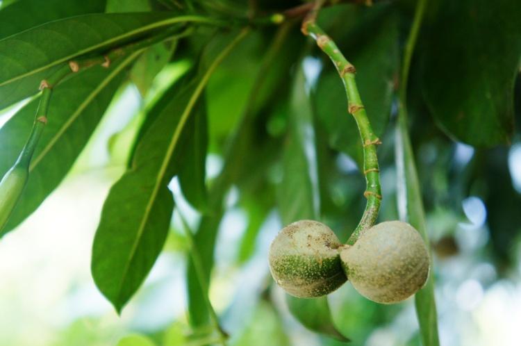 Testicle tree