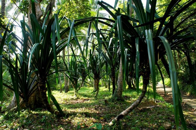 Karagumoy grove