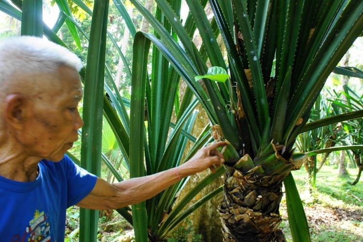 Pili seedling