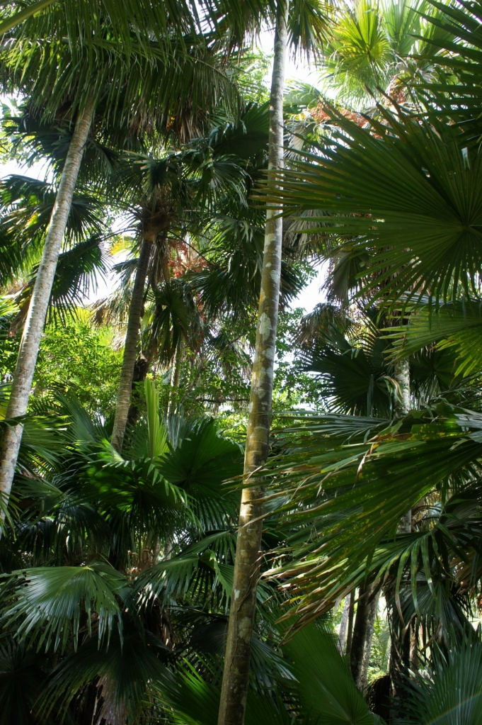Anahaw palm grove