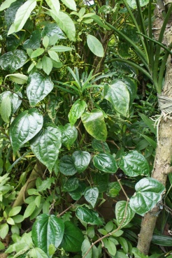 Buyo vine with the prized leaves for 'nganga' or ma'mah' i.e. chewing the leaves with lime and betel nut.