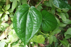 This is the authentic buyo plant from Kapangihan, a mountain village of Bulusan according to Oya Panya.