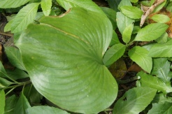 Talaunod is a popular Bulusan medicinal plant.
