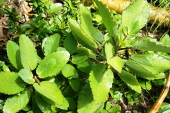 A familiar herbal plant in Bulusan is the cactus-like katakataka sometimes called aritana.