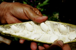 Oya Panya opens a pod to reveal plump white beans of the papas.