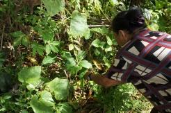 Oya Panya showing the fruits of the papas in her roadside garden.