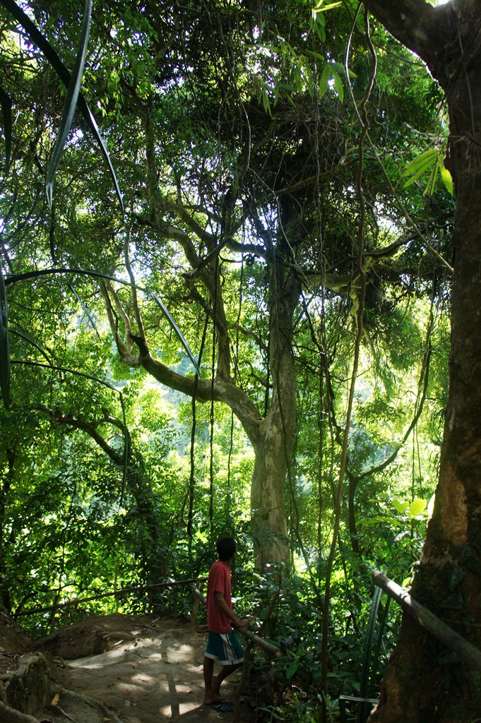 Lapinig, one of the hardest woods there is and a critically endangered species stills stands proudly in Bayugin.