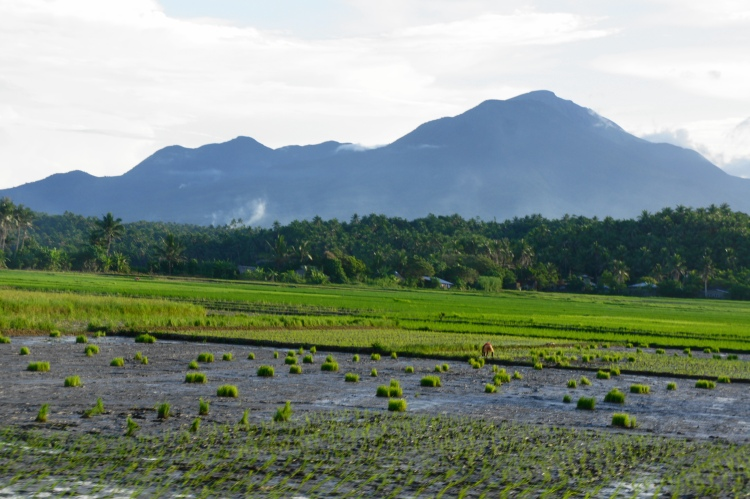 Rice planting season in Bulusan, 2014 (image #2)