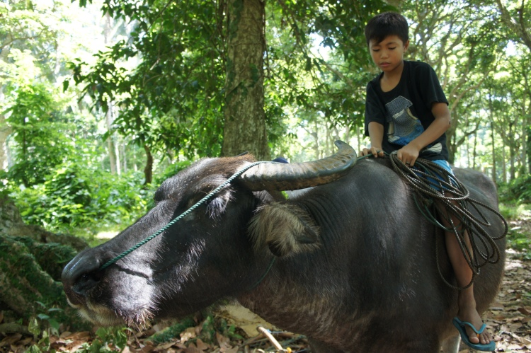 Marvin and their family's carabao grew up together says his father.
