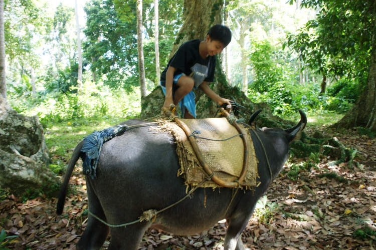 Marvin demonstrating how easily he can mount on top of the carabao with a 'siya' - a indigenous contraption for a rider to sit on the back of the carabao.