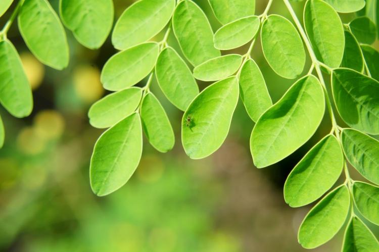 Moringa oleifera a.k.a. malunggay