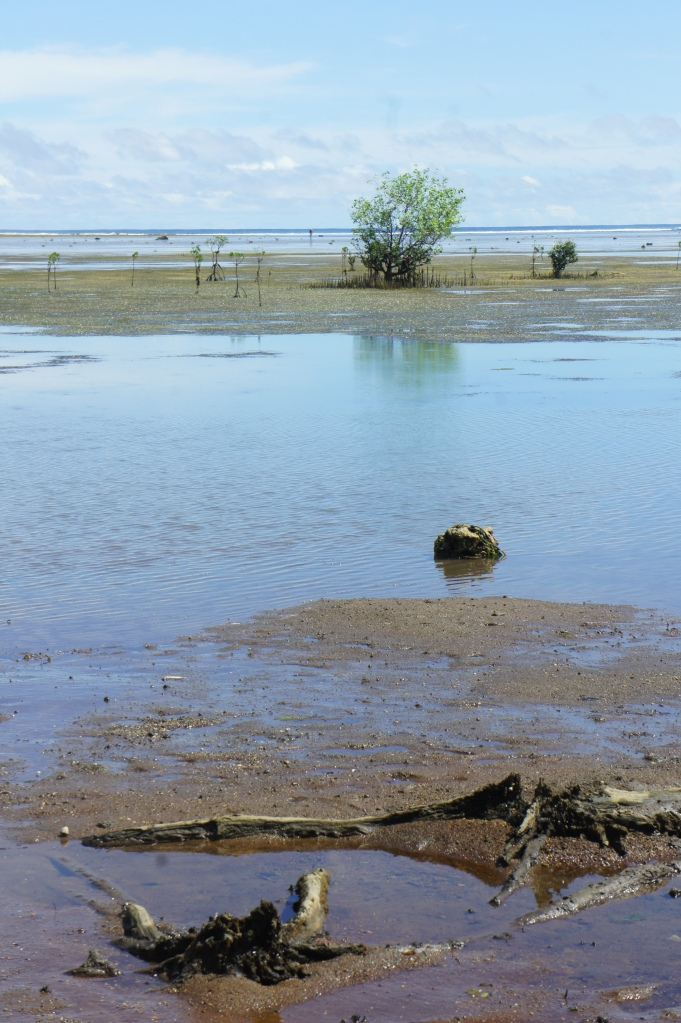 Low tide reveals mangrove remnants from a previous mangrove stand.