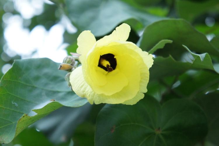 Malubago Flower