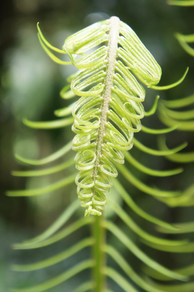 One of the most common fern at the park (BVNP, Bulusan, 2014 December 4).