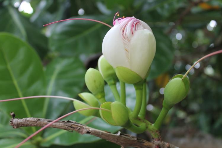 Boton flower bud