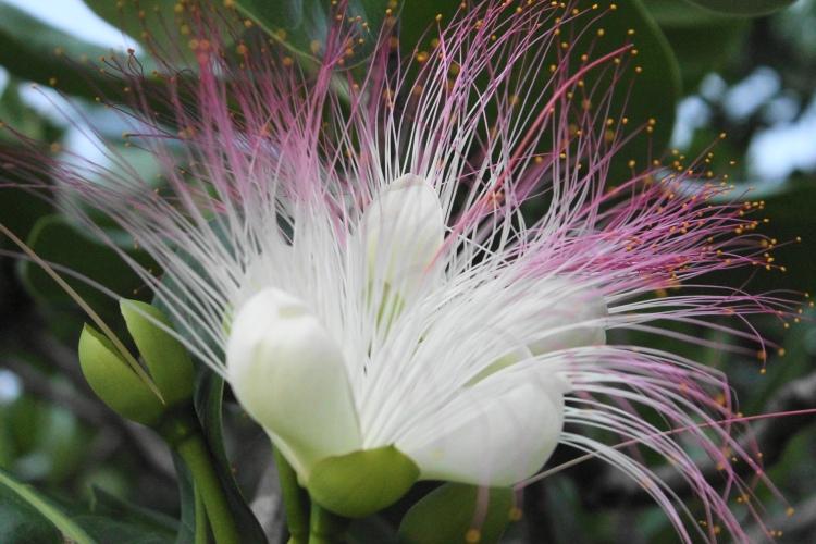 Boton flower